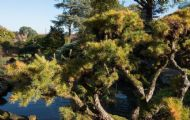 Japanese Larch 10 Seeds - Beautiful Tree, Interesting Habit of Growth
